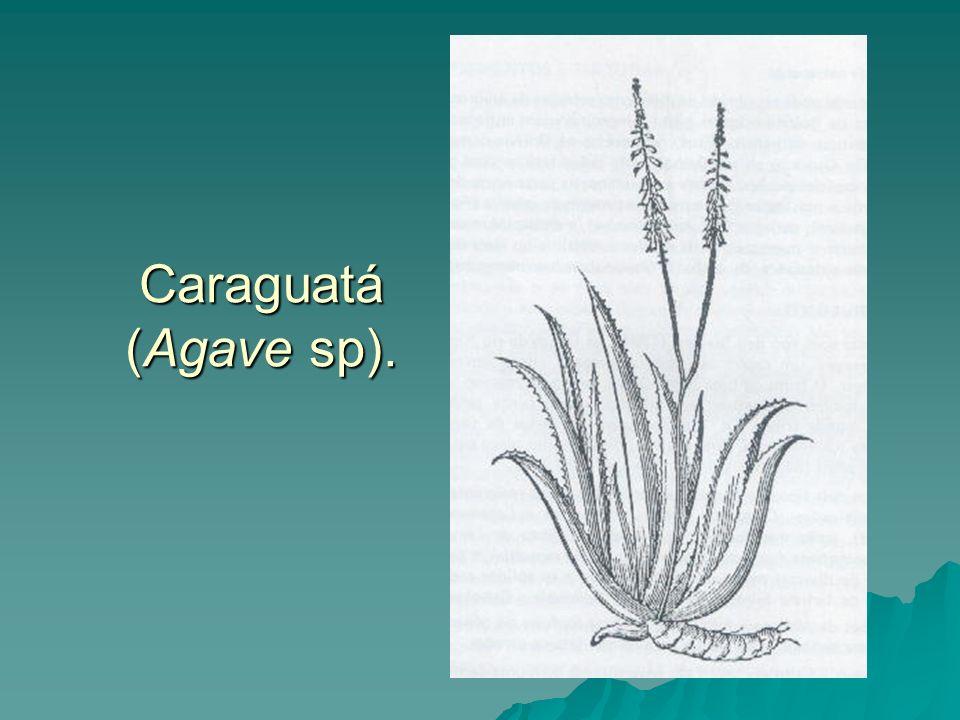 Caraguatá (Agave sp).