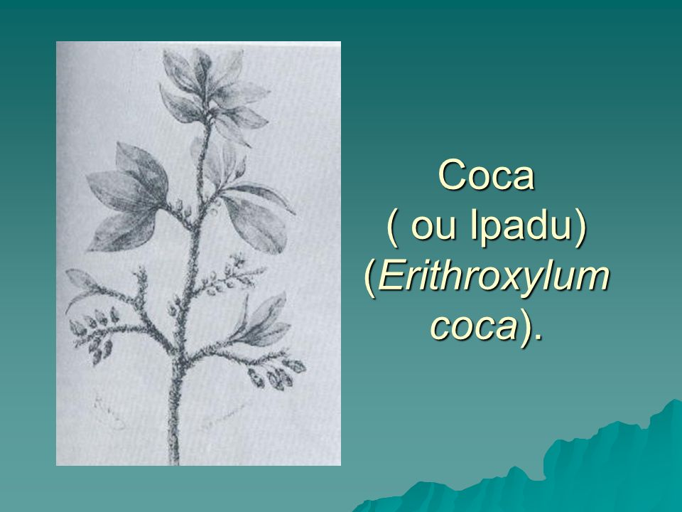 Coca ( ou Ipadu) (Erithroxylum coca).