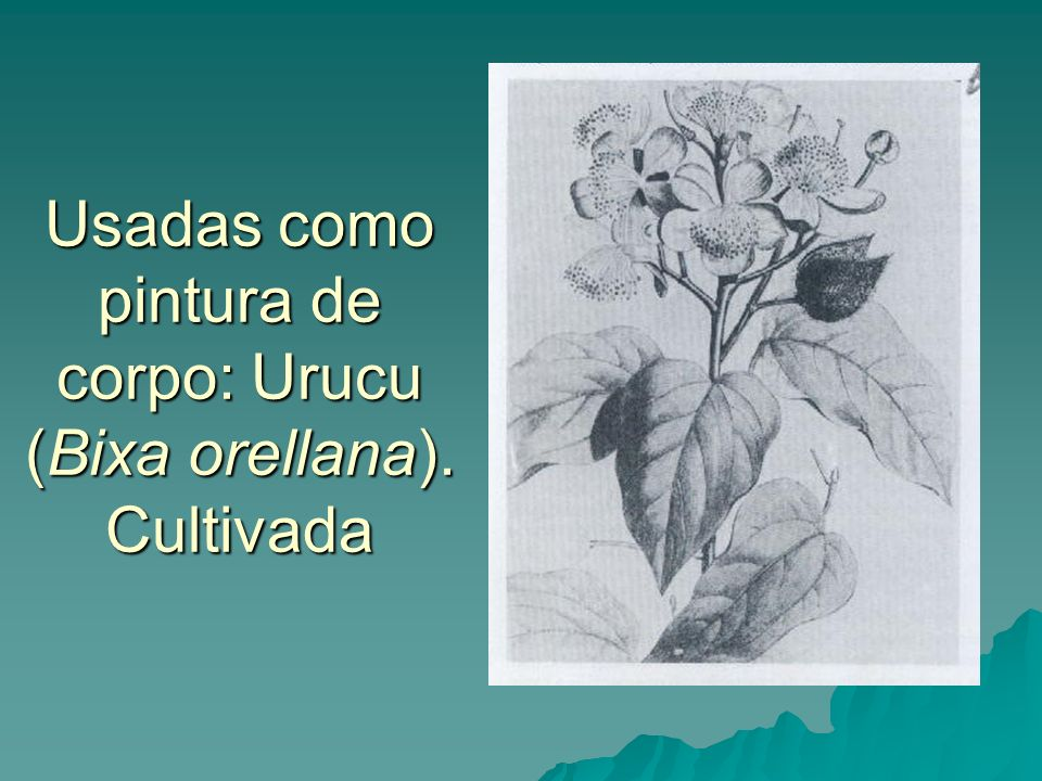 Usadas como pintura de corpo: Urucu (Bixa orellana). Cultivada