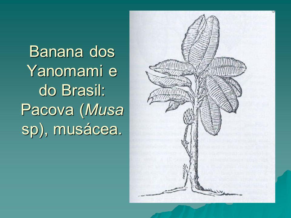 Banana dos Yanomami e do Brasil: Pacova (Musa sp), musácea.