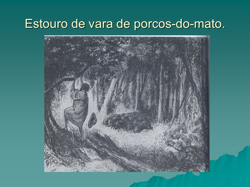 Estouro de vara de porcos-do-mato.