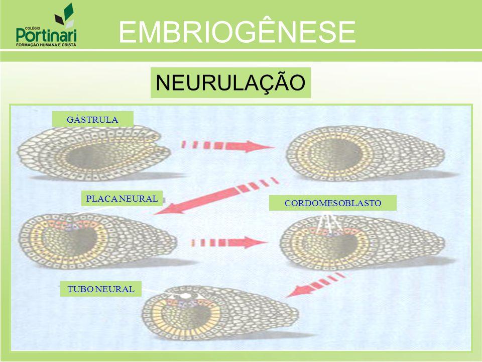 EMBRIOGÊNESE NEURULAÇÃO GÁSTRULA PLACA NEURAL CORDOMESOBLASTO