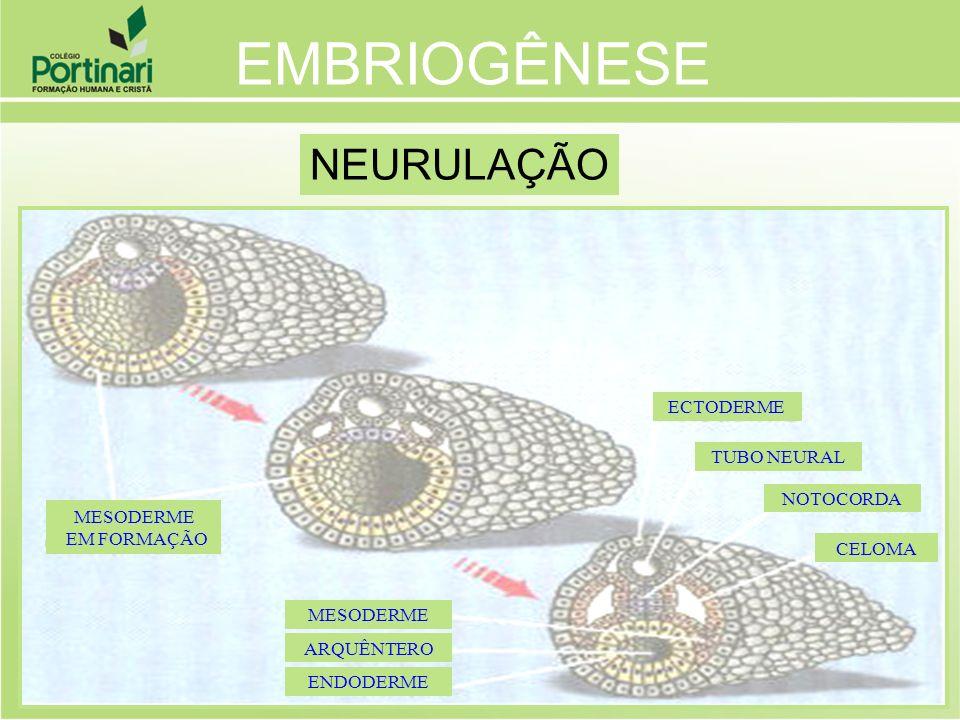 EMBRIOGÊNESE NEURULAÇÃO ECTODERME TUBO NEURAL NOTOCORDA EM FORMAÇÃO