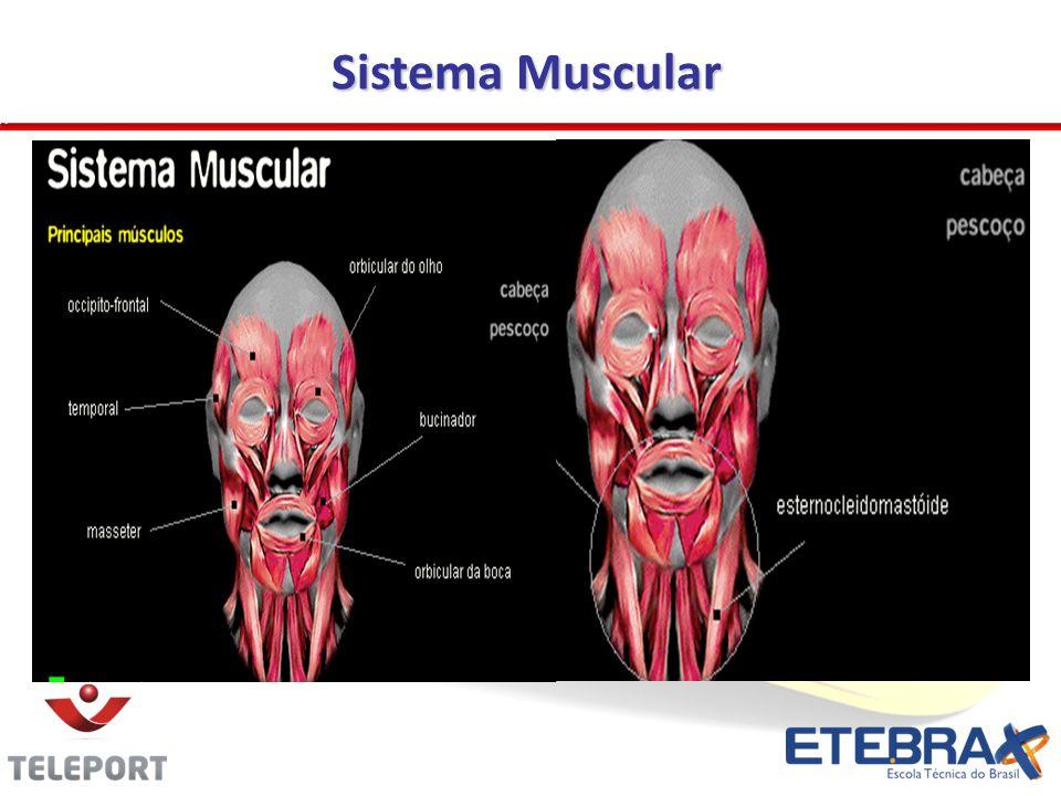 Sistema Muscular 17