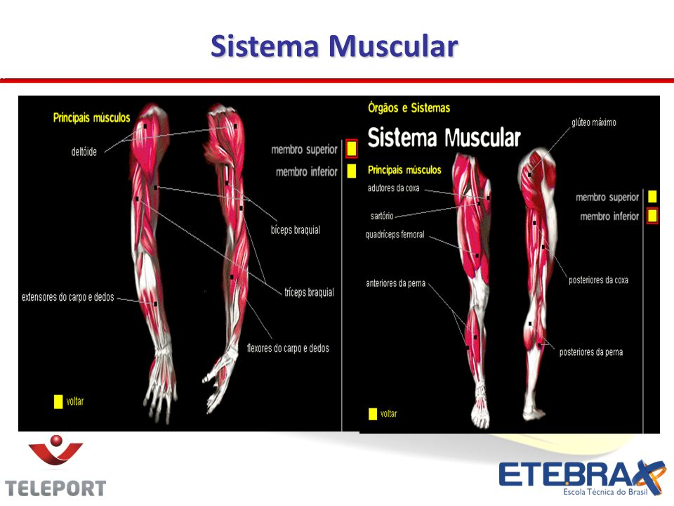 Sistema Muscular 18