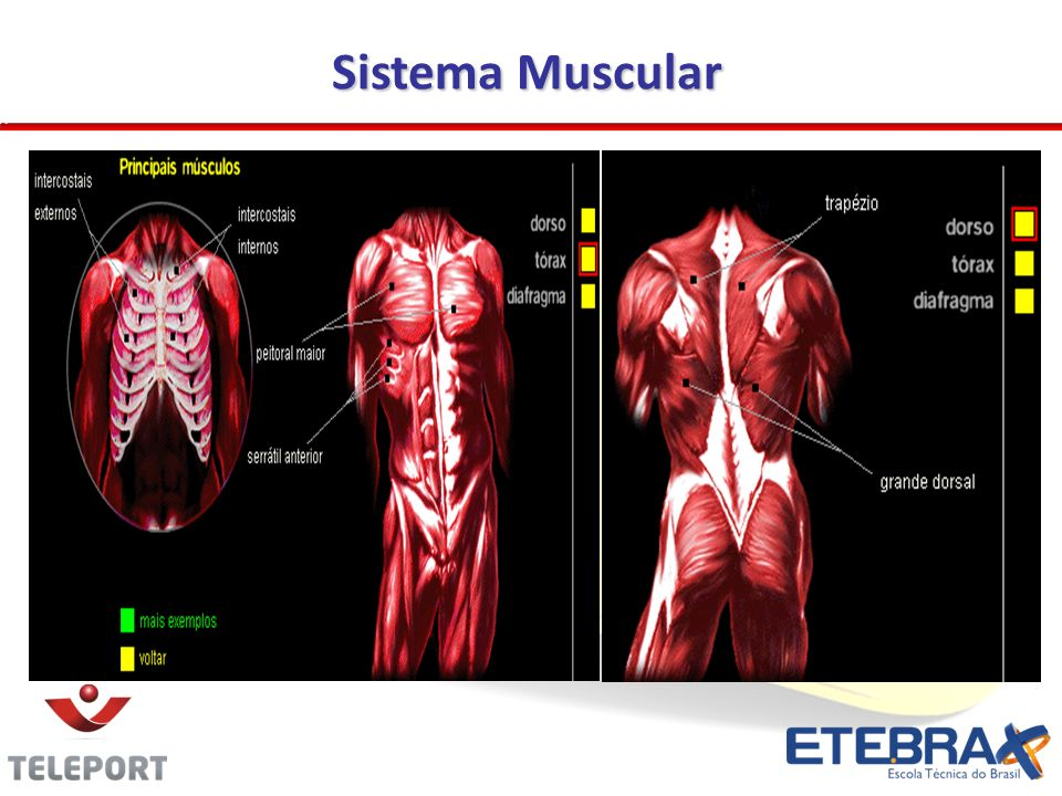 Sistema Muscular 19