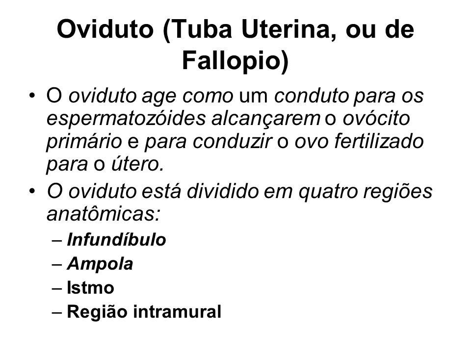 Oviduto (Tuba Uterina, ou de Fallopio)