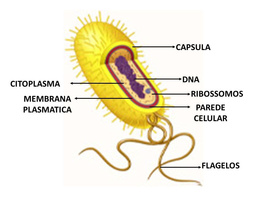 CAPSULA DNA CITOPLASMA RIBOSSOMOS MEMBRANA PLASMATICA PAREDE CELULAR FLAGELOS