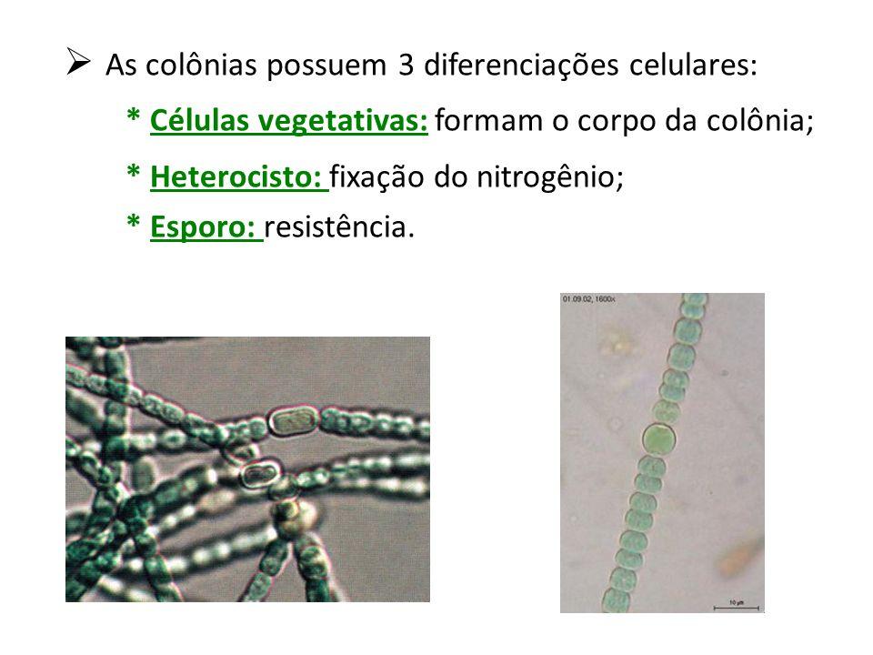 As colônias possuem 3 diferenciações celulares:
