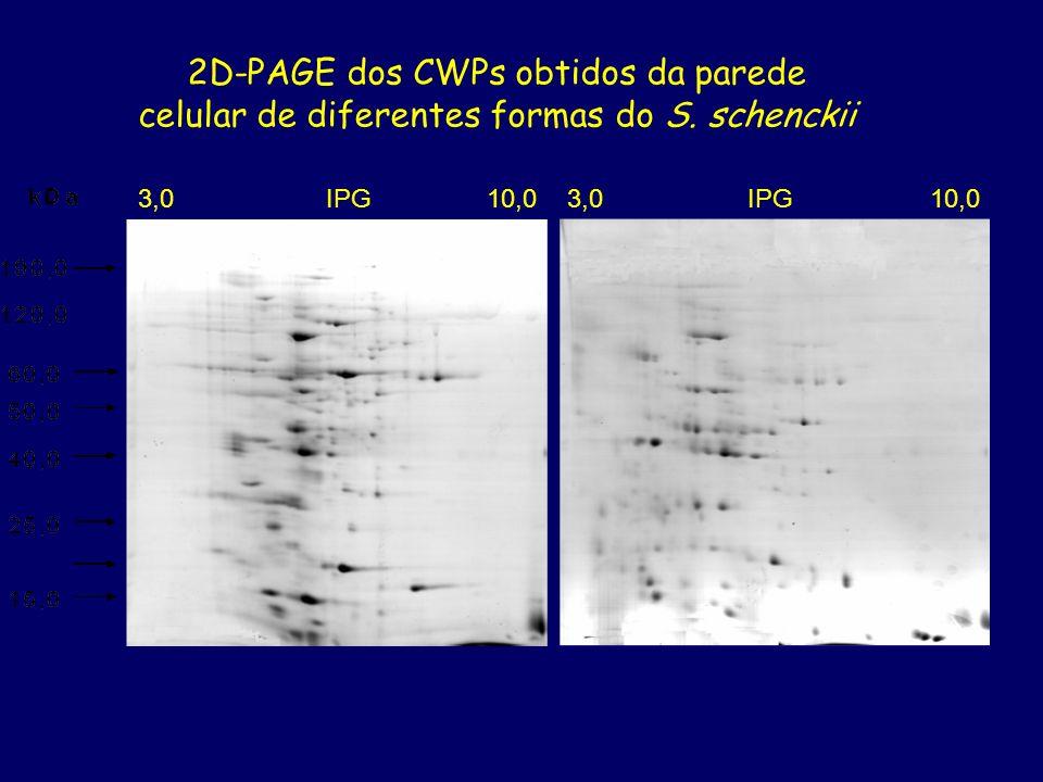 2D-PAGE dos CWPs obtidos da parede celular de diferentes formas do S