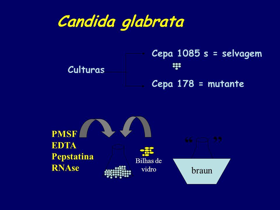 '' Candida glabrata Cepa 1085 s = selvagem Culturas