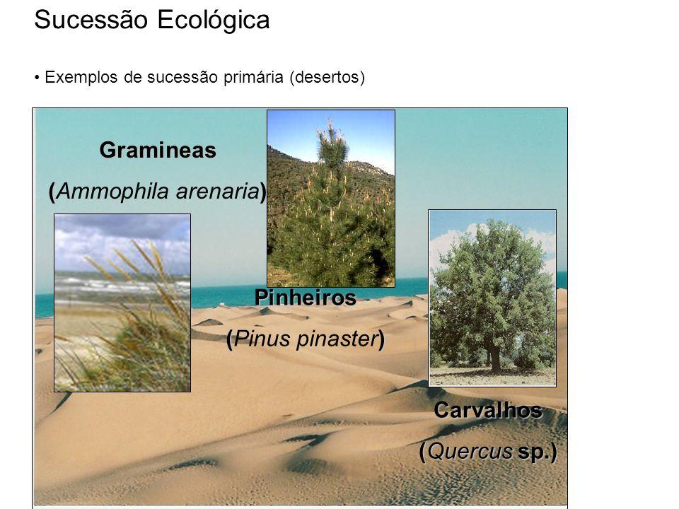 Sucessão Ecológica Gramineas (Ammophila arenaria) Pinheiros