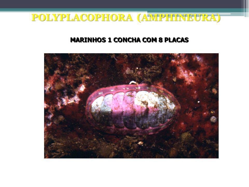 POLYPLACOPHORA (AMPHINEURA)