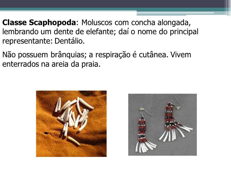 Classe Scaphopoda: Moluscos com concha alongada, lembrando um dente de elefante; daí o nome do principal representante: Dentálio.
