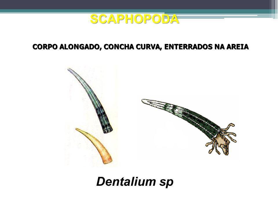 SCAPHOPODA Dentalium sp