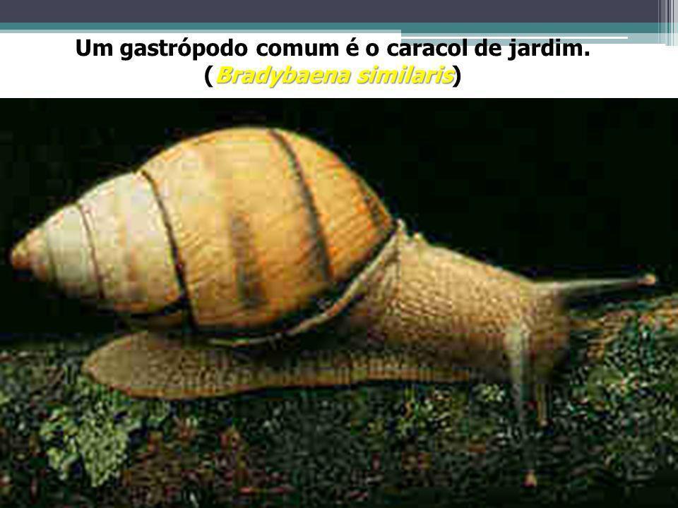 Um gastrópodo comum é o caracol de jardim. (Bradybaena similaris)
