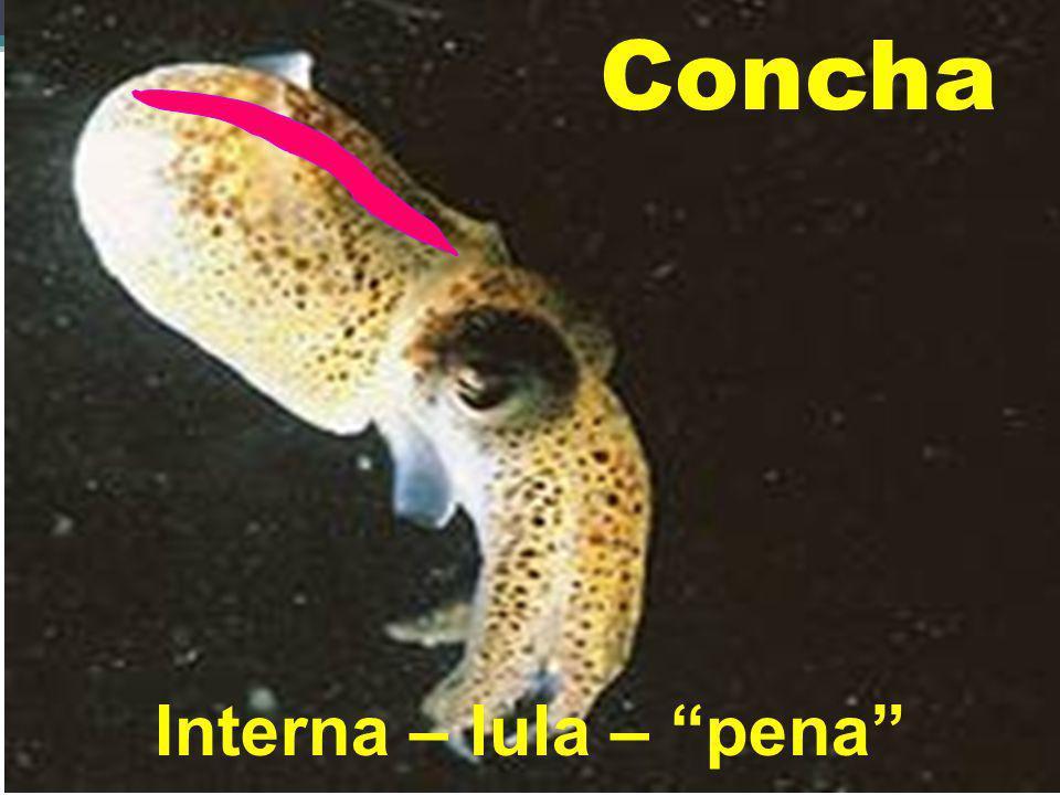 Concha Interna – lula – pena