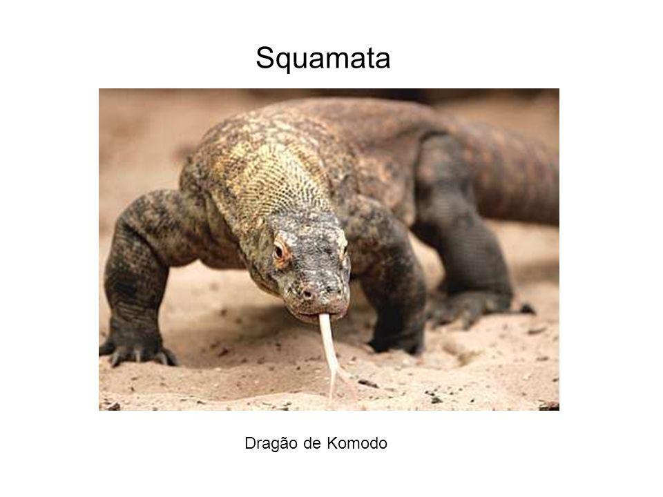 Squamata Dragão de Komodo