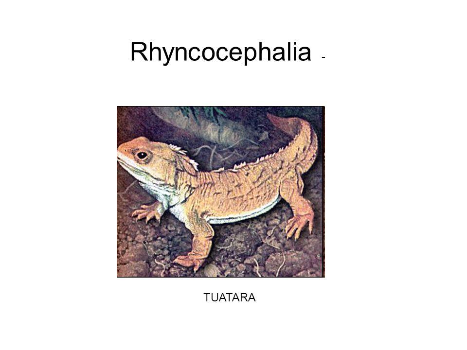 Rhyncocephalia - TUATARA