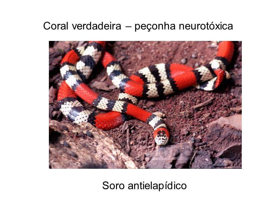 Coral verdadeira – peçonha neurotóxica