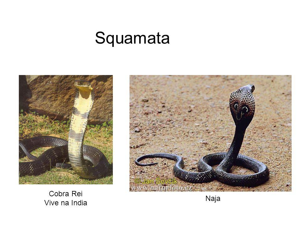 Squamata Cobra Rei Vive na India Naja