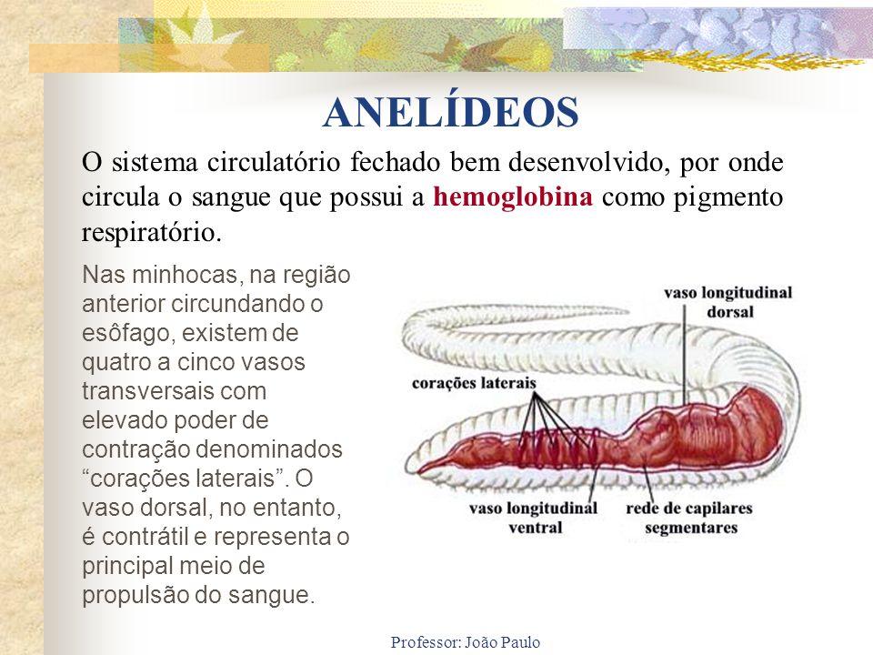 ANELÍDEOS O sistema circulatório fechado bem desenvolvido, por onde circula o sangue que possui a hemoglobina como pigmento respiratório.