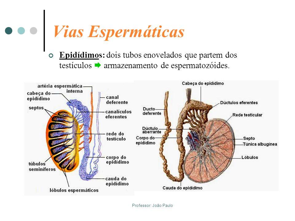 Vias EspermáticasEpidídimos: dois tubos enovelados que partem dos testículos  armazenamento de espermatozóides.