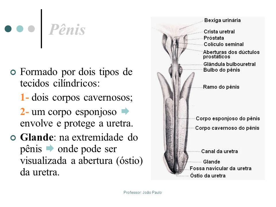 Pênis Formado por dois tipos de tecidos cilíndricos: