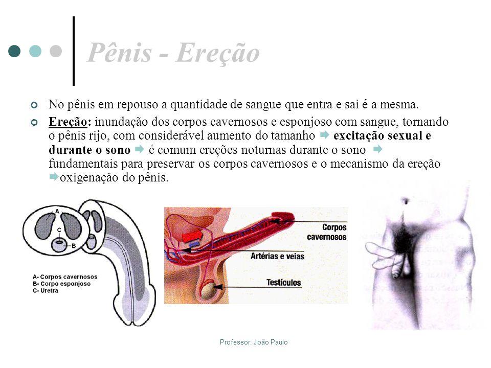Pênis - Ereção No pênis em repouso a quantidade de sangue que entra e sai é a mesma.