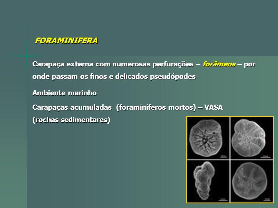 FORAMINIFERA Carapaça externa com numerosas perfurações – forâmens – por. onde passam os finos e delicados pseudópodes.