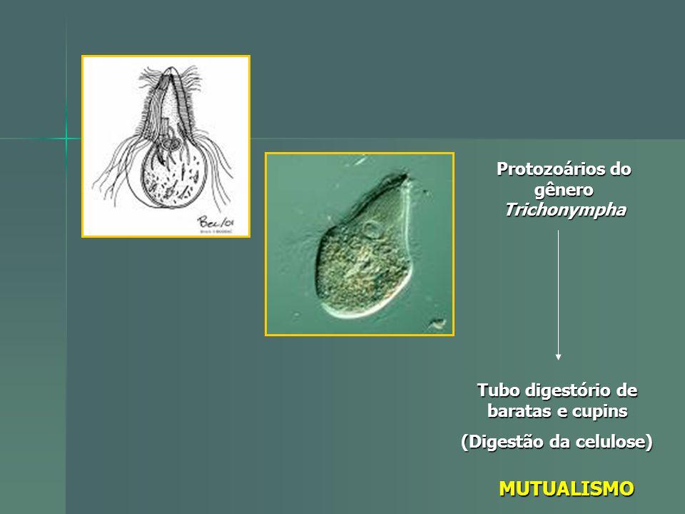 MUTUALISMO Protozoários do gênero Trichonympha