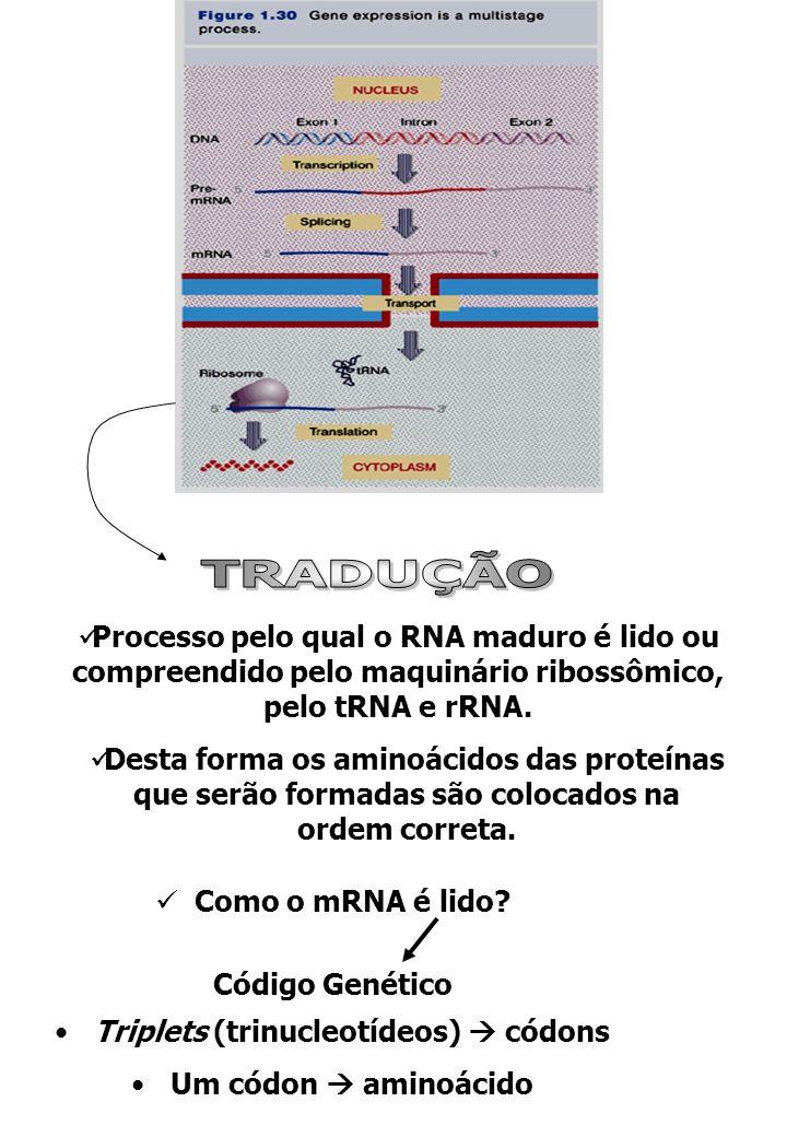 TRADUÇÃO Processo pelo qual o RNA maduro é lido ou