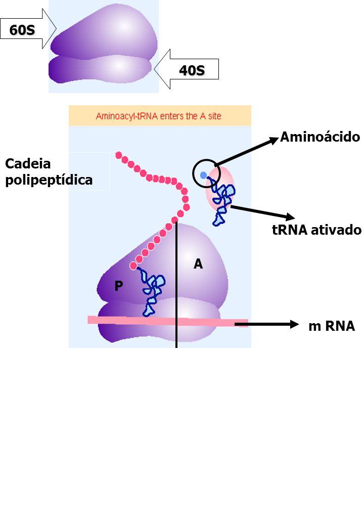 60S 40S Aminoácido Cadeia polipeptídica tRNA ativado A P m RNA