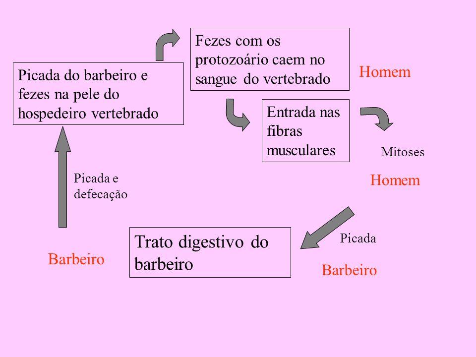 Trato digestivo do barbeiro