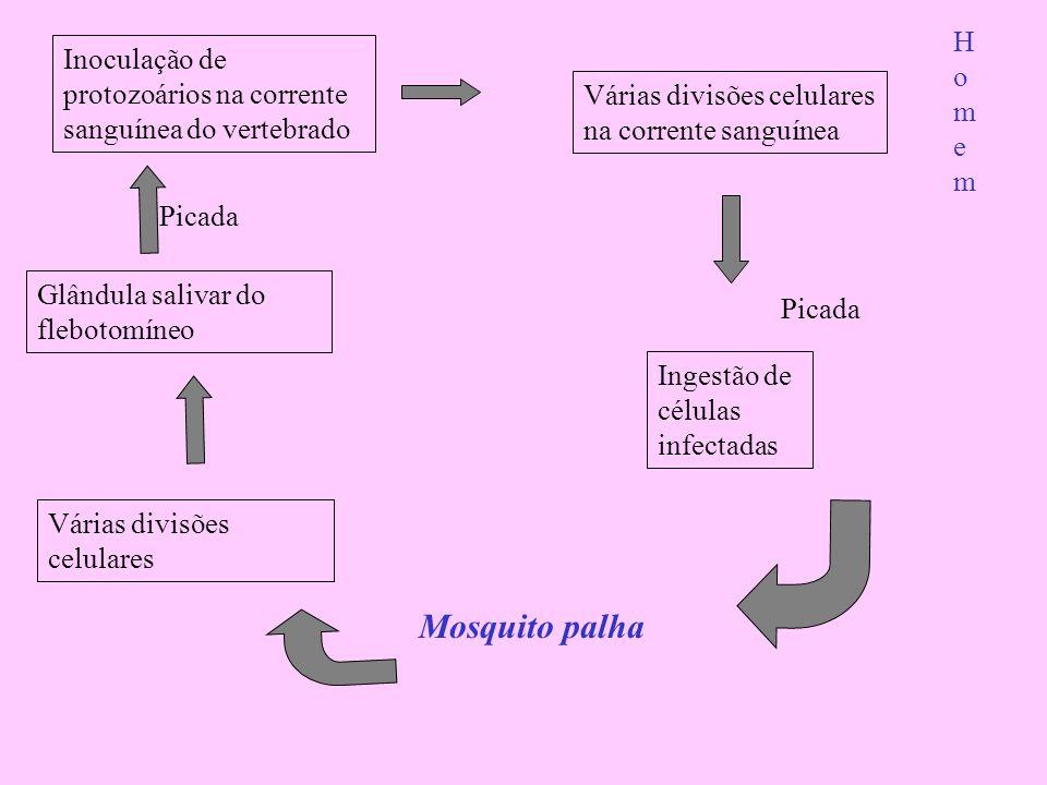 Homem Inoculação de protozoários na corrente sanguínea do vertebrado. Várias divisões celulares na corrente sanguínea.