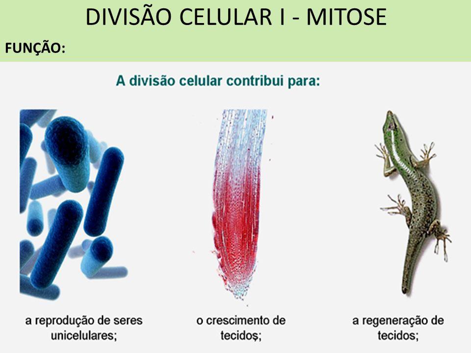 DIVISÃO CELULAR I - MITOSE