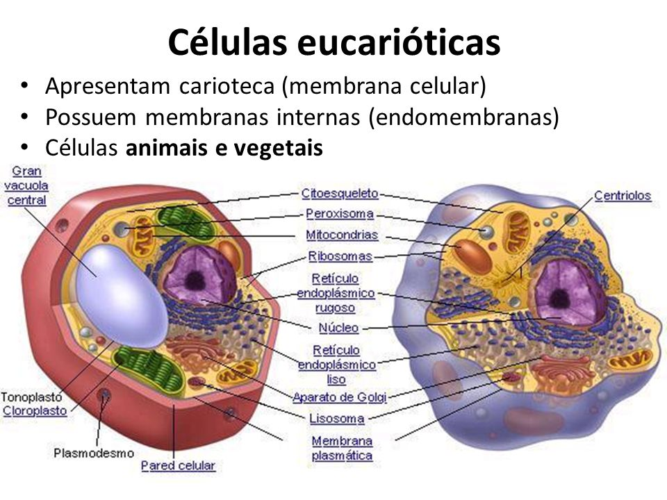 Células eucarióticas Apresentam carioteca (membrana celular)