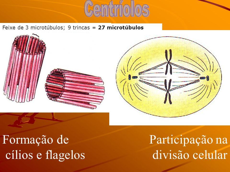 Formação de cílios e flagelos Participação na divisão celular