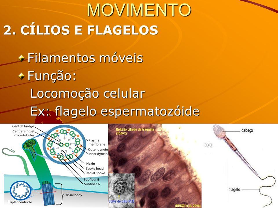MOVIMENTO 2. CÍLIOS E FLAGELOS Filamentos móveis Função: