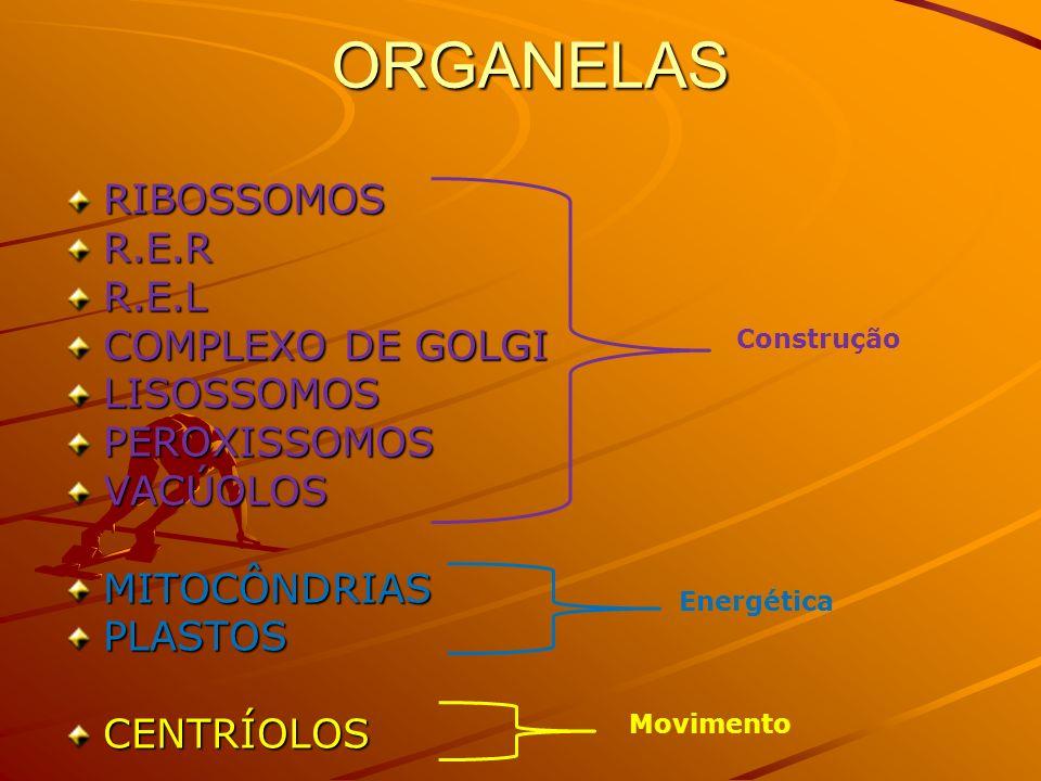 ORGANELAS RIBOSSOMOS R.E.R R.E.L COMPLEXO DE GOLGI LISOSSOMOS