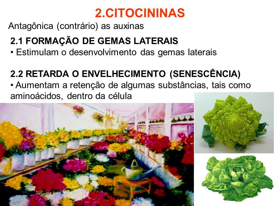 2.CITOCININAS Antagônica (contrário) as auxinas