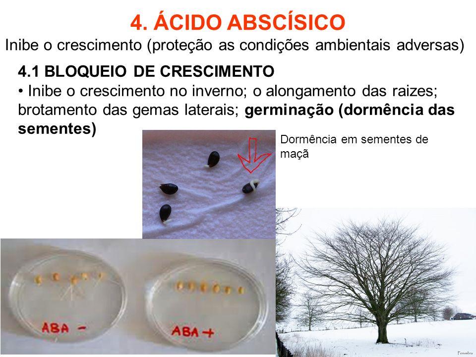 4. ÁCIDO ABSCÍSICO Inibe o crescimento (proteção as condições ambientais adversas) 4.1 BLOQUEIO DE CRESCIMENTO.