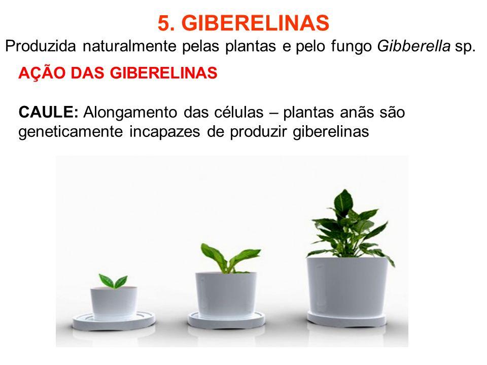 5. GIBERELINAS Produzida naturalmente pelas plantas e pelo fungo Gibberella sp. AÇÃO DAS GIBERELINAS.