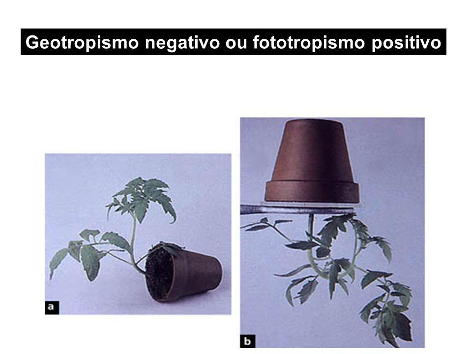 Geotropismo negativo ou fototropismo positivo