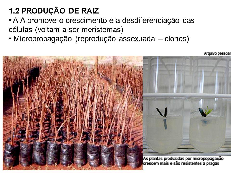 1.2 PRODUÇÃO DE RAIZ AIA promove o crescimento e a desdiferenciação das células (voltam a ser meristemas)