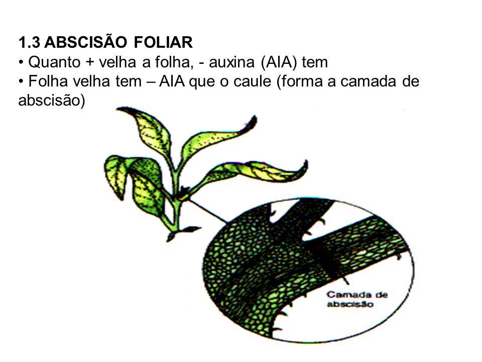 1.3 ABSCISÃO FOLIAR Quanto + velha a folha, - auxina (AIA) tem.