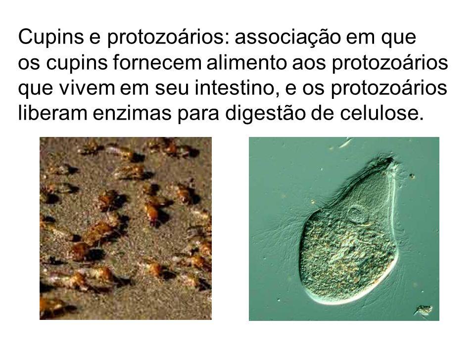 Cupins e protozoários: associação em que