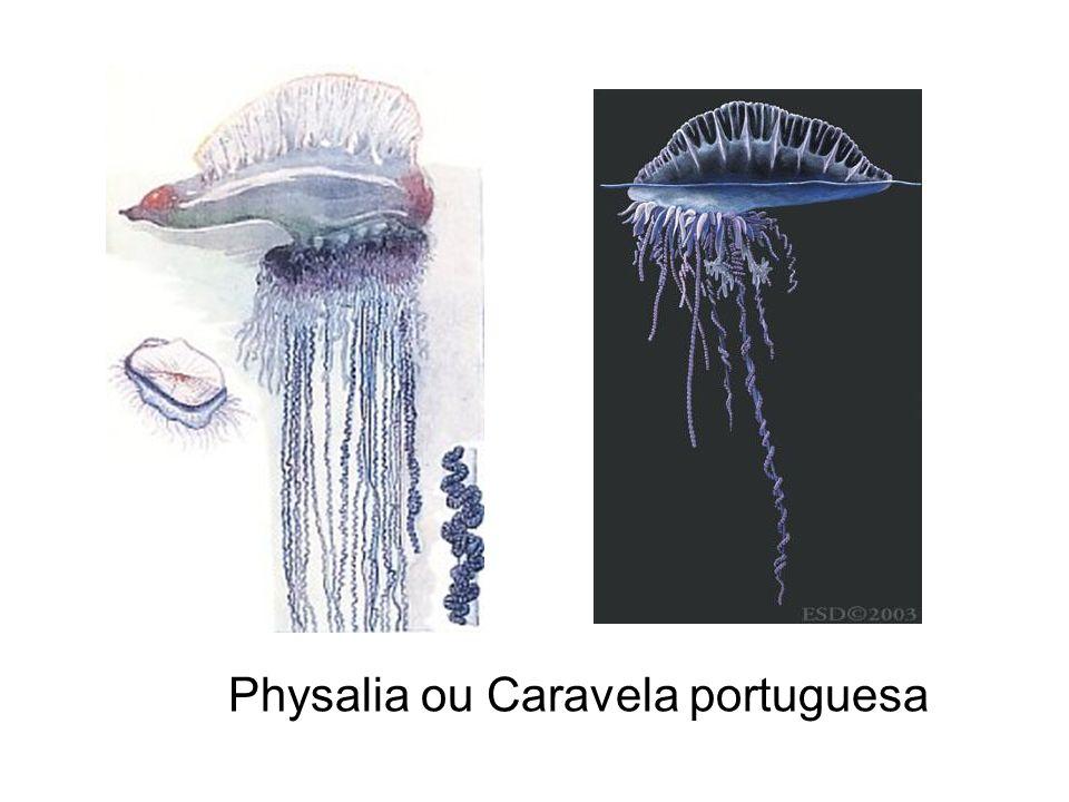 Physalia ou Caravela portuguesa