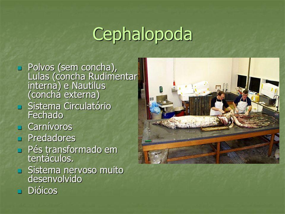 Cephalopoda Polvos (sem concha), Lulas (concha Rudimentar interna) e Nautilus (concha externa) Sistema Circulatório Fechado.