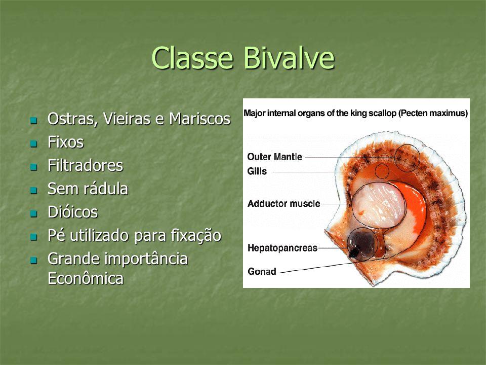 Classe Bivalve Ostras, Vieiras e Mariscos Fixos Filtradores Sem rádula